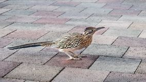 Close up of Greater Roadrunner Geococcyx californianus on a sidewalk, Palm Desert, California stock photo