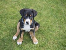 Close up greater swiss mountain dog puppy portrait sitting in th. E green grass, selective focus stock images