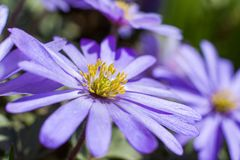 Close up of a grecian wildflower royalty free stock photos