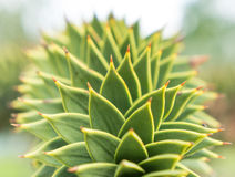 Close up green agave Stock Photography
