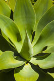 Close-up of green agave plant Royalty Free Stock Photos