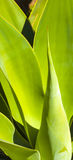 Close-up of green agave plant Royalty Free Stock Image