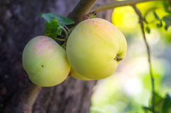 close up green apple grow on tree Stock Image