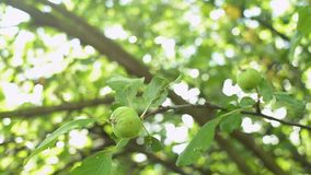 Close-up of green apples on a tree branch sways in the wind. Unripe green apples on a tree branch sways in the wind. The sun`s rays hit the lens.Organic orchard stock video footage