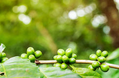 Close up of green arabica coffee berries. On foreground growing on its tree with sunlight bokeh Stock Image