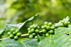Close up of green arabica coffee berries. On foreground with sunlight growing on its tree at coffee tree plantation Royalty Free Stock Image