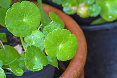Close up green Asiatic Pennywort and water drop  in  pot Stock Photography