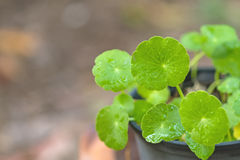 Close up green Asiatic Pennywort and water drop  in  pot Stock Images