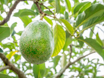 Close-up avocado on tree Stock Images