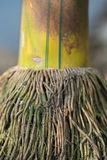 Close up of green bamboo with aged root. In the nature Royalty Free Stock Image