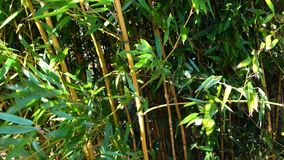 Bamboo forest close-up with wind. Close-up green bamboo forest shaking by wind stock footage