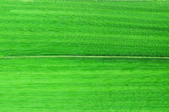 Close up green bamboo leaves Stock Photos