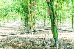 Close up green bamboo planted in the garden,BAMBUSA BEECHEYANA M. UNRO BEECHEY BAMBOO, SILKBALL stock image