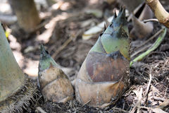 Close up green bamboo shoot spire on the ground royalty free stock photo