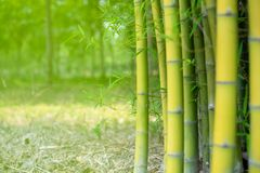 Close up Green Bamboo stalks plant nature Royalty Free Stock Photos