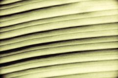 Close-up on Green banan leaf Royalty Free Stock Photography