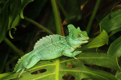 Close up of Green Basilisk Lizard Stock Image