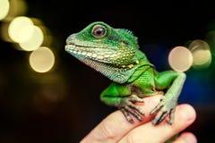 Close-up of a green beautiful lizard royalty free stock photo