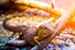 Young beautiful iguana stock photo