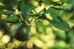 Bergamot on tree. Close up green bergamot on tree stock images