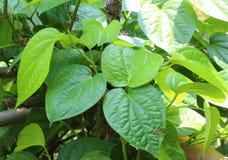 Betel leaf. Stock Images