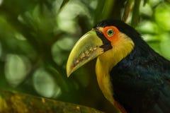 Close-up of green-billed toucan staring at camera Stock Photos