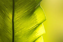 Close up green Bird`s nest fern leaf nature abstract background Stock Image