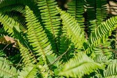 Close up green boston fern background. Close up green boston fern background stock photo