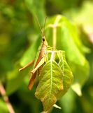 Close up of green and brown grasshopper on a leaf. Stock Photography