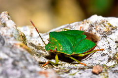 Close up of a green bug Stock Photography