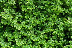 Close-up of green bush, Texture background Royalty Free Stock Images