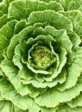 Close-up on a green cabbage from ecological farm II