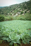 Close up Green Cabbage field Stock Images