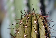 Close-up of a green cactus with brown spikes Stock Images