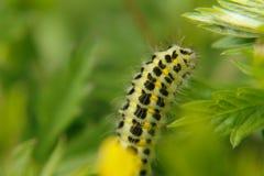 Close Up of a Green Caterpillar stock images