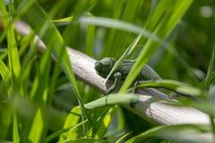 Close up on green chameleon stock image
