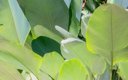 Close up green cigar leaf, calathea luted Aubl. Stock Photo