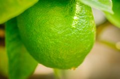 Close up green citrus fruit on tree with green leaves in sunshine. Close up. Green citrus fruit on tree with green leaves in sunshine Royalty Free Stock Photo