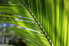 Close up green coconut leaves, shallow depth of field Royalty Free Stock Images