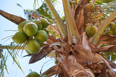 Close-up of green coconuts Royalty Free Stock Image