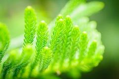 Close up green cook pine leaf, Araucaria columnaris. Close up green cook pine leaf ,Araucaria columnaris Stock Image