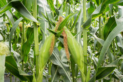 Close up green corn in field. Royalty Free Stock Image