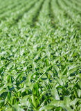 Close-up on green Corn field Royalty Free Stock Images