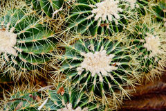 Close up of green and cream spikey cactus plant. In garden Royalty Free Stock Images
