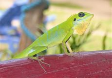 Green crested lizard in Malaysia. Close up of a green crested lizard Bronchocela cristella in Malaysia stock photos