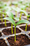 Close up green cucumber seedling Royalty Free Stock Images