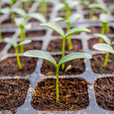 Close up green cucumber seedling Stock Photography