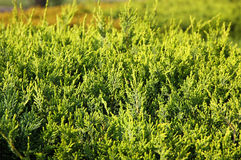 Close-up of green cypress leaves Stock Photography