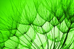 Green dandelion background Royalty Free Stock Photography