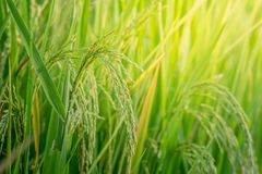 Close up ear of rice fields Royalty Free Stock Photos